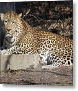 Leopard Relaxing Metal Print