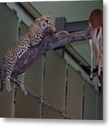 Leopard Tree Cat Preying Metal Print