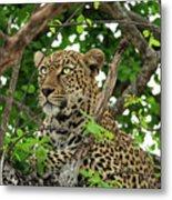 Leopard With Piercing Eyes Metal Print