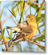 Lesser Goldfinch Metal Print