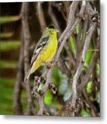 Lesser Goldfinch H57 Metal Print