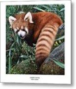 Lesser Panda Ailurus Fulgens Metal Print