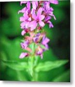 Lesser Purple Fringed Orchid Metal Print