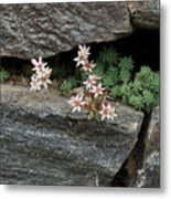 Life On Bare Rock - Pale Pink Succulents On The Wall Metal Print
