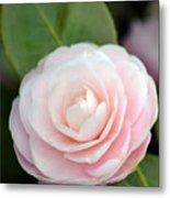 Light Pink Camellia Flower Metal Print