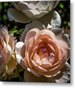 Light Pink Roses Metal Print