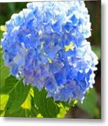 Light Through Blue Hydrangeas Metal Print