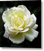 Light Yellow Rose 1 Metal Print