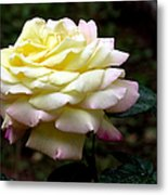 Light Yellow Rose 2 Metal Print