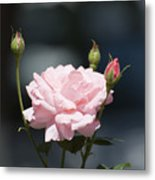 Like A Rose Metal Print