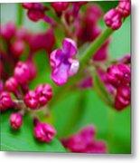 Lilac Opening Metal Print