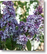 Lilacs In Spring Metal Print