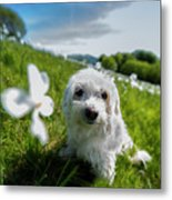 Lilli At The Daffodils Blossimg At Cavalla Plains 2017 - Lilli Alla Fioritura Dei Narcisi Al Pian De Metal Print