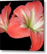 Lilly 3 Metal Print