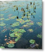 Lilly Pad In Pond  Metal Print