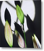 Lily Buds In The Spotlight. Metal Print