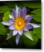 Lily Queen Of The Pond  Metal Print