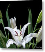 A White Oriental Lily Surrounded Metal Print