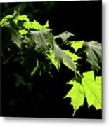 Limelighted Maples Metal Print