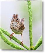 Lincoln's Sparrow Metal Print