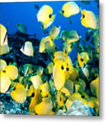 Lined Butterflyfish Metal Print