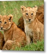 Lion Cubs - Too Cute Metal Print by Nancy D Hall