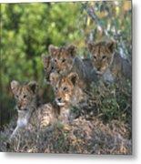 Lion Cubs Awaiting Mom Metal Print