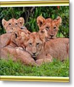 Lion Cubs. L A With Decorative Ornate Printed Frame. Metal Print