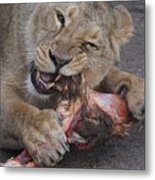 Lion Eating Metal Print