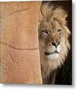 Lion Emerging    Captive Metal Print