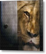Lion Eye Metal Print
