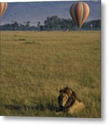 Lion Ignores Balloons Metal Print