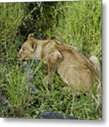 Lion In A Cool Glade Metal Print