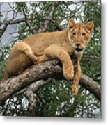 Lion In A Tree Metal Print