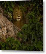 Lion In A Tree-signed Metal Print