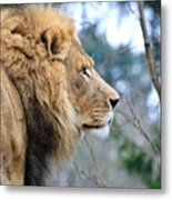 Lion In Thought Metal Print