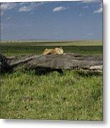 Lion on a Log Metal Print