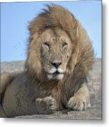 Lion On Mound Metal Print