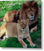 Lion Pair Metal Print