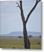 Lion Under Tree Metal Print