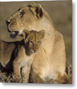 Lioness And Her Cub  Metal Print