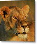 Lioness At Maasai Sunet Metal Print