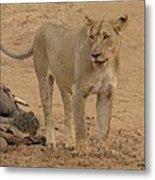 Lioness At The Kill Metal Print