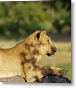 Lioness Pose Metal Print