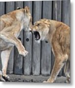 Lioness's Playing 1 Metal Print
