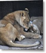 Lioness's Playing 2 Metal Print