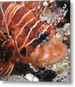 Lionfish Closeup Metal Print by Gary Hughes