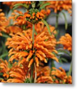 Lion's Ear Metal Print