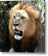 Lions Of The Masai Mara, Kenya Metal Print