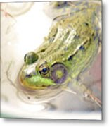 Lithobates Catesbeianus Or Rana Catesbeiana Metal Print